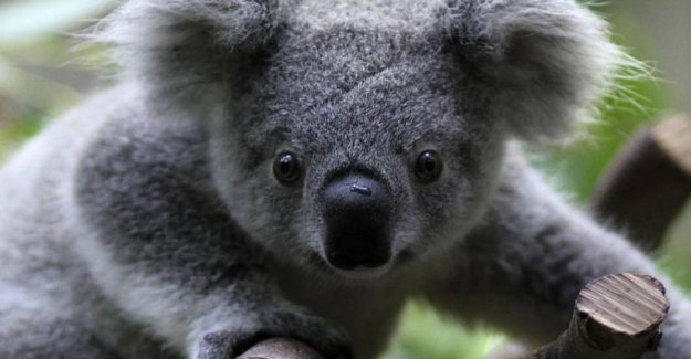 Hundreds of koalas are feared burned to death