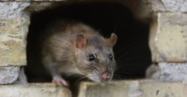 Lone has killed over 50 rats with simple means