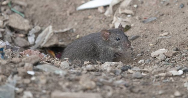 Danish town invaded by rats
