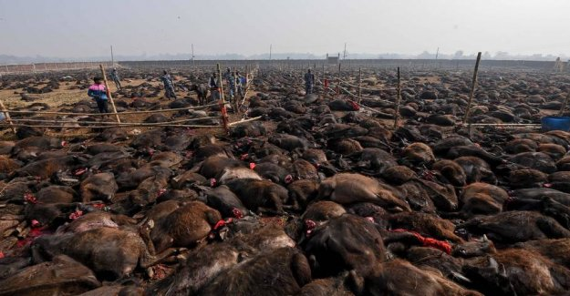 The world's largest sacrifice of animals is started