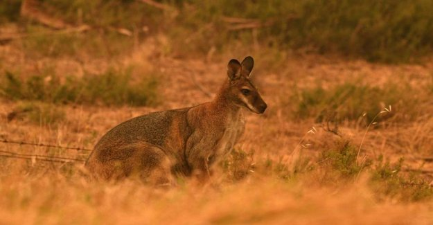 One billion animals are feared dead by the fires in Australia