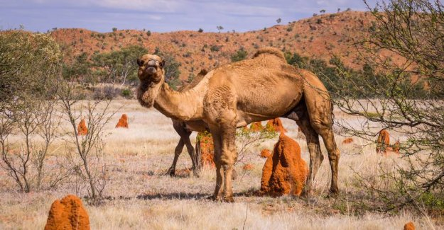 The 10,000 camels should be shot in the morning: They drink too much water