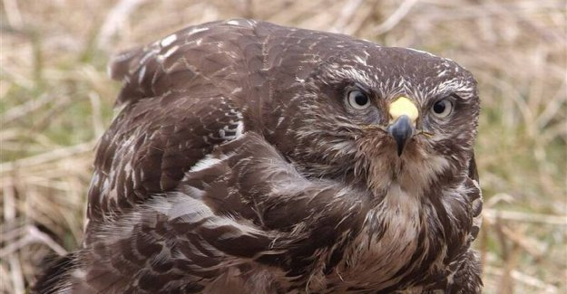 Reported to the police: birds of Prey killed with poison