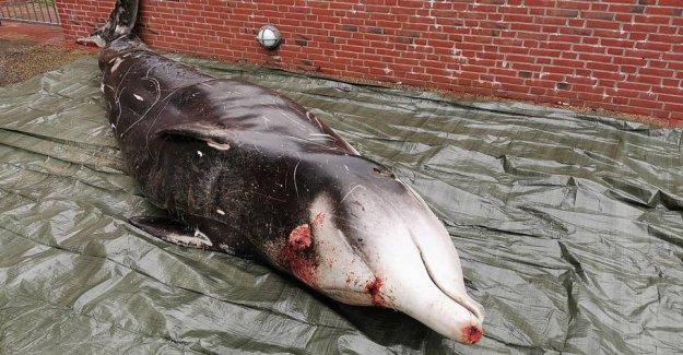 Sensational vision: the Rare whale stranded in Denmark
