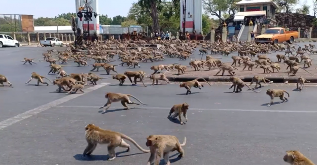 Monkeys go crazy: No tourists to feed them