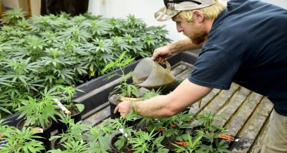 Boulder County updates marijuana licensing regulations