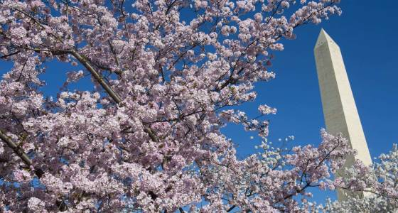 D.C.'s cherry blossoms could hit peak bloom in just two weeks