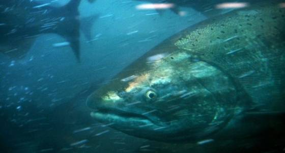 Environmental and fishing groups sue to save salmon