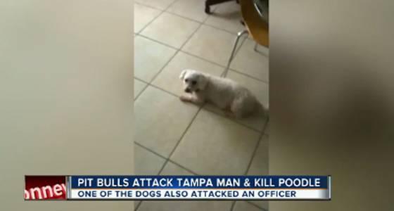 Florida police officer shoots 2 pit bulls that killed poodle
