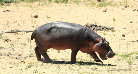 Hippo Killed In El Salvador: 15-Year-Old Hippopotamus Gustavito Dies Following Brutal Attack