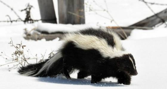 How do I get rid of a skunk living under my house?: Ask an OSU gardening expert