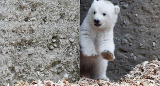 Polar bear cub takes adorable first steps at zoo