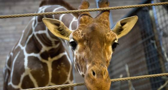 Pregnant Giraffe Live Stream: Watch April Give Birth To 'Baby'-To-Be At New York Zoo