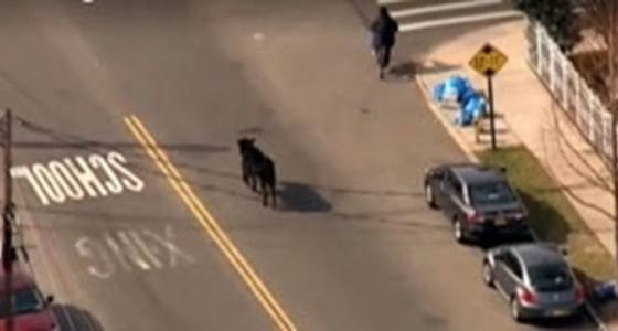 Raw video: Runaway cow leads police on wild chase in Queens