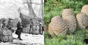 History of plants: the cedars in the hat Jussieu