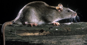 Rats take over tavern on the fifth week