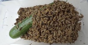 Release 3000 maggots loose on the cucumber: See the result here