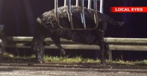 Stray cow killed in accident