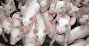 Swinish treatment of 270 pigs