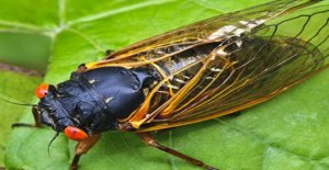 In New York in may, will come, billions of cicadas with red eyes