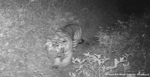 Nepal, spotted tiger 3.165 meters of altitude. Because they are looking for new spaces