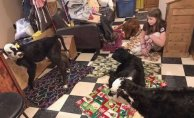 Family farm Attracts calves into the kitchen with South Struck by record cold