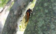 Cicada invasion: Following 17 Decades underground, billions to emerge this Spring.