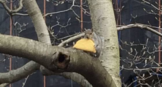 'Taco Squirrel' is the city's latest snacking critter obsession