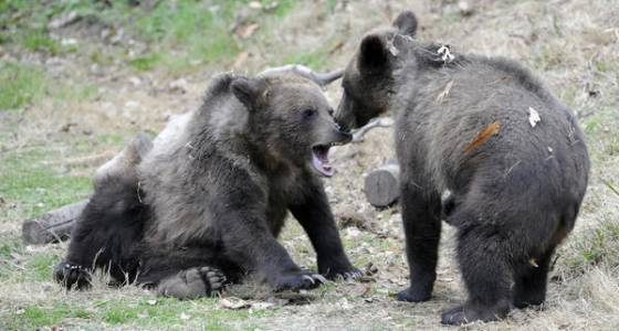 Maryland Zoo adopts pair of orphaned grizzly bear cubs