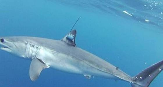 This Mako shark's 5,000-mile sprint in just 142 days has scientists in awe