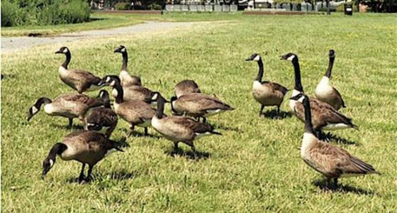 Town to stop killing geese because there are few geese left to kill