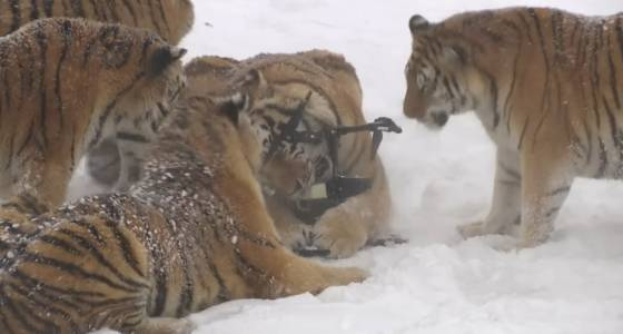 Watch these tigers stalk and destroy a drone